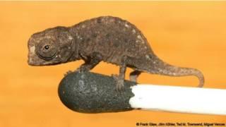 El camaleón Brookesia
