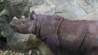 Суматранский носорог Харапан