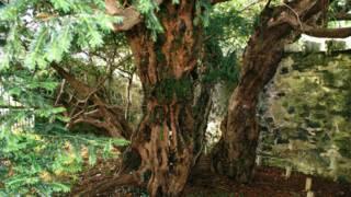 Tejo de Fortingall