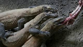 komodo at prague zoo