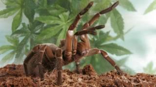 العنكبوت الأكبر حجما في العالم