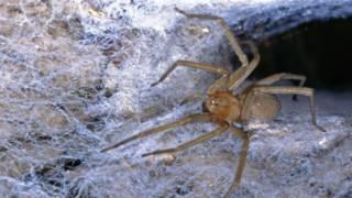 La araña de rincón