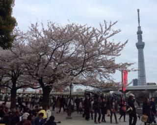 只觀不觸是日本人賞櫻花的基本規則