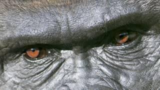 Очі мавпи