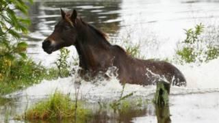 Австралийская лошадь