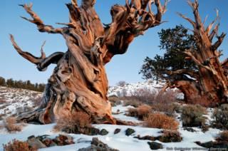 Por qué nunca vas a poder conocer el árbol más viejo del mundo