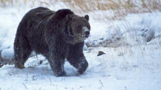 Scarface, el oso más famoso del parque Yellowstone al que mataron a tiros