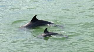 Дельфиниха с дельфиненком
