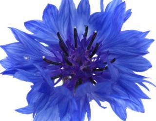 flor de maiz azul
