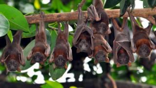 El pueblo australiano asediado por miles de murciélagos