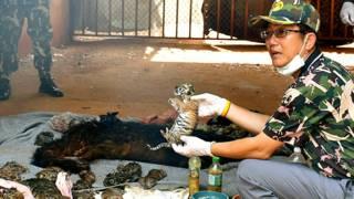 बौद्ध मंदिर के एक फ्रीज़र से मिले बाघ के बच्चे.