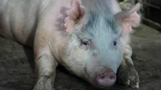La polémica apuesta de EE.UU. por hacer crecer órganos humanos en cerdos
