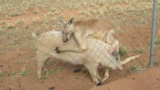 Свиня і кенгуру