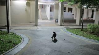 在新加坡義順區「的社區貓」。