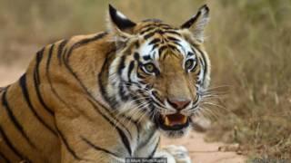 बाघों की तादाद बढ़ी