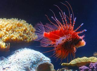 Рыба-крылатка в аквариуме (2012 год)