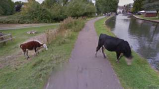 Cow privacy