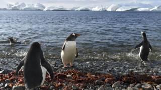 南極的企鵝被列為海洋保護區的保護物種之一。