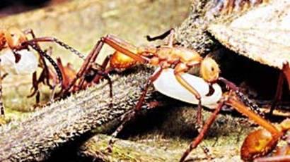 El Cambio Climático Podría Afectar Seriamente A Las Hormigas