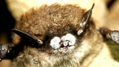 Resultado de imagen para sindrome de nariz blanca murciélagos