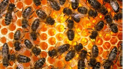 infección bacteriana que las abejas pueden transmitir a un humano