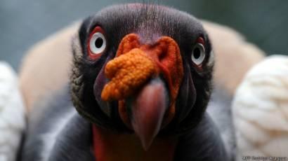 pájaro que come parásitos en el ganado