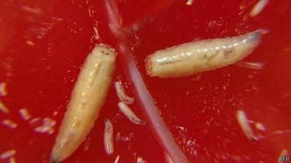 Cabeza herida con gusanos