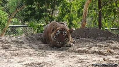 Тигр людоед - YouTube | 230x410