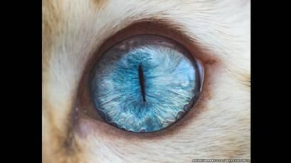 fotos de infección del ojo felino