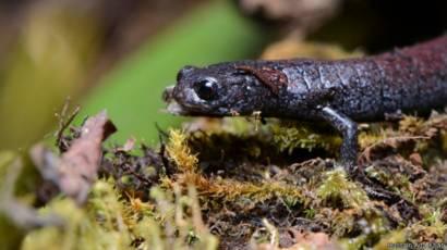 34++ Gambar hewan salamander terbaru