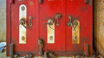 Ratas en el templo