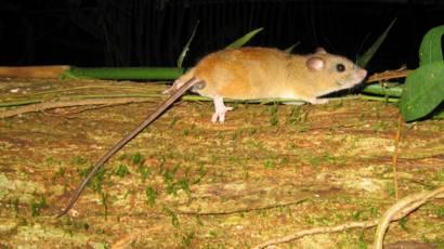 коронавирус крыс