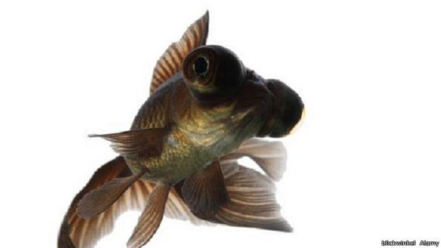 أسرار لا تعرفها عن أسماك الزينة 141030123956_vert_cap_gold_fish_640x360_blickwinkelalamy