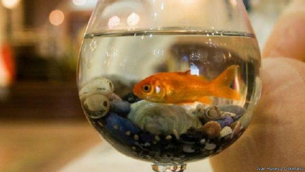أسرار لا تعرفها عن أسماك الزينة 141030124821_vert_cap_gold_fish_640x360_ivarhusevgdskeland