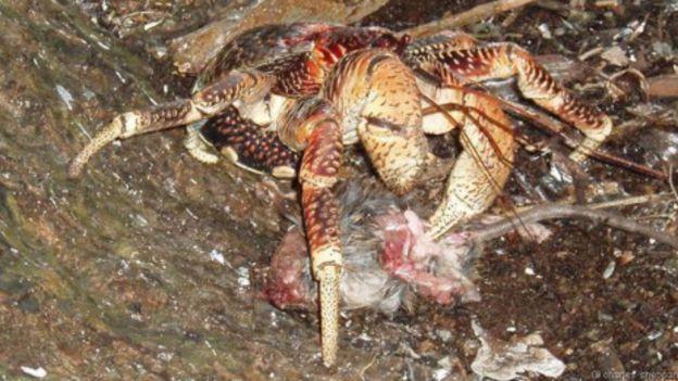 Caranguejo come ratazana morta