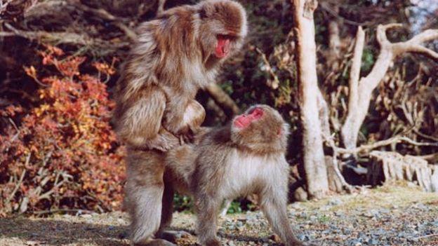 Monyet Jepang