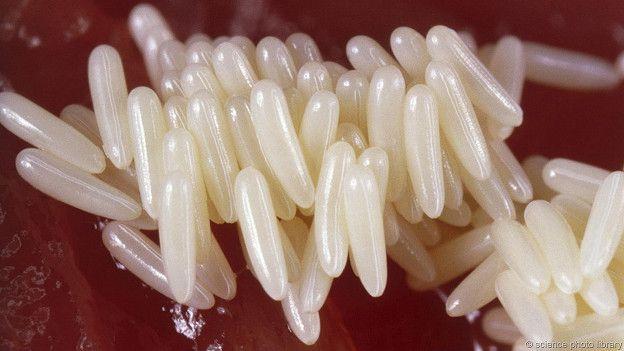 Каждая самка мухи откладывает около 250 яиц
