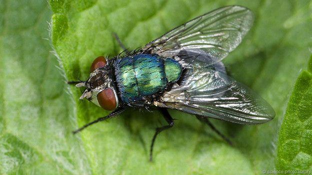 Падальные мухи тесно ассоциируются с разложением