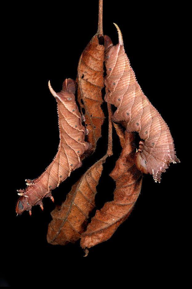 Ceratomia amyntor. Foto: Samuel Jaffe