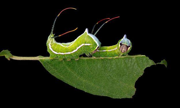 Cerura scitiscripta. Foto: Samuel Jaffe