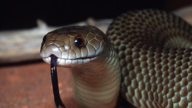 En tehlikeli yılan - o nedir
