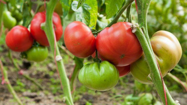 Hortalizas como que cultivan son se las y