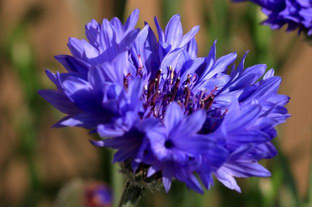 La Hermosa Flor Que Fue Simbolo De Los Nazis Y Que Todavia Causa