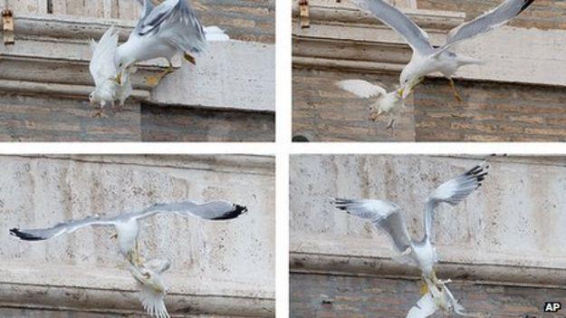 Gaviota ataca palomas de la paz