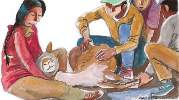 Ilustración de la esquila de vicuñas