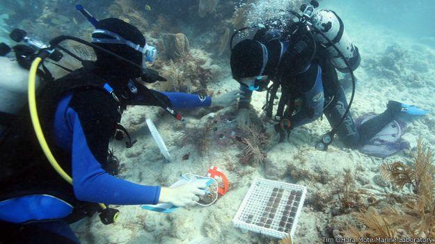 Cientificos plantan corales