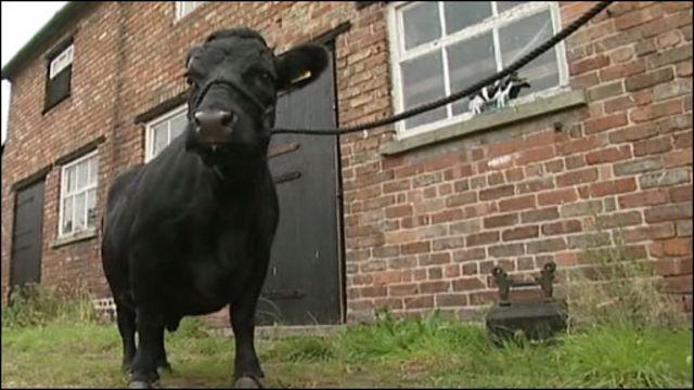 Самая маленькая в мире корова