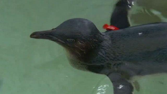 Пингвин Дирк.