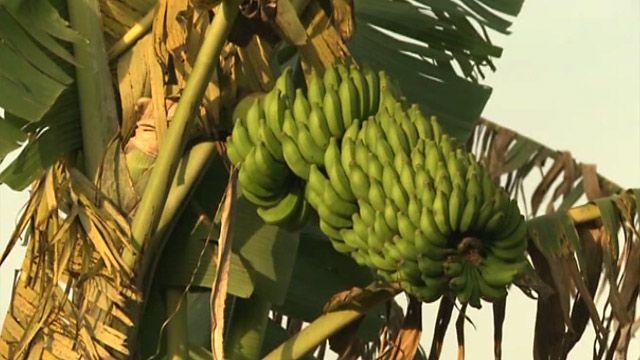 Генетически модифицированные бананы на опытной плантации близ Кампалы, Уганда