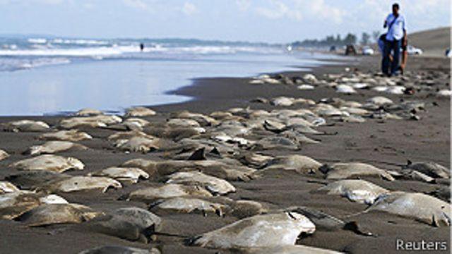 Hallan unas 250 mantarrayas muertas en una playa de México